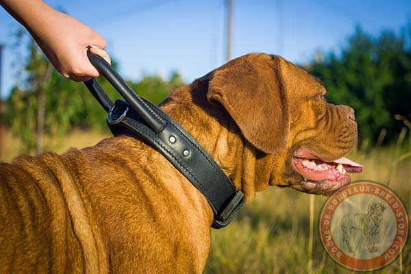 Dogue de Bordeaux collar for heavy duty training