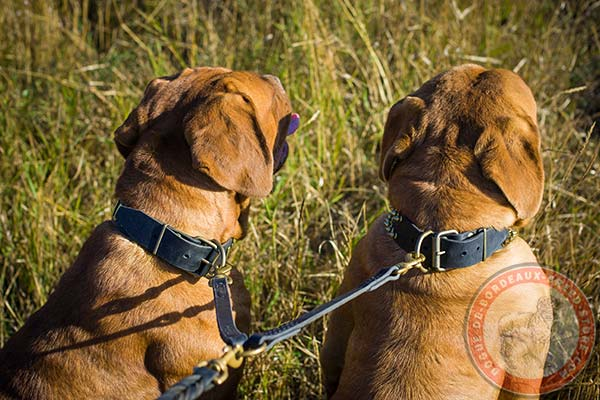Dogue de Bordeaux collar with brass buckle and D-ring