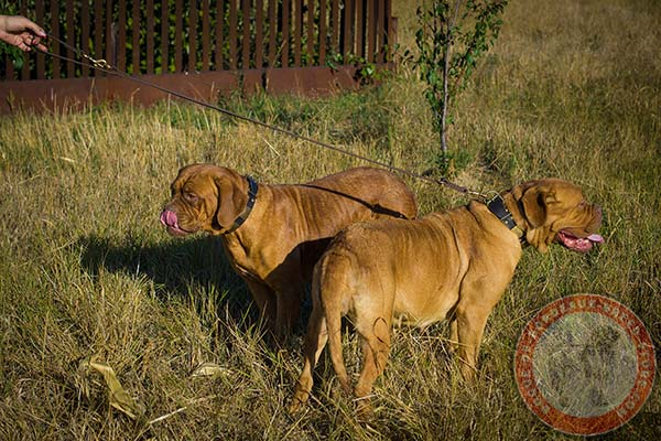 Dogue de Bordeaux collar with brass plates