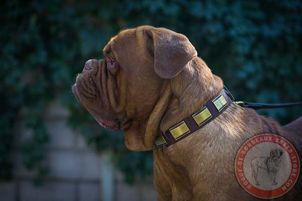 Dogue de Bordeaux collar with attractive decorations