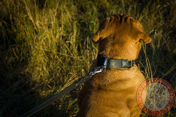 Dogue de Bordeaux collar with steel nickel plated buckle and D-ring