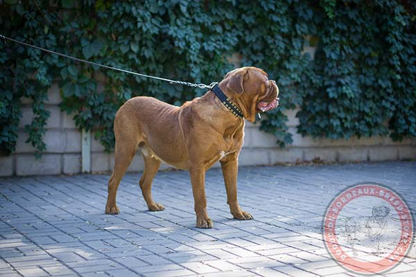 Adjustable Dogue de Bordeaux leather collar