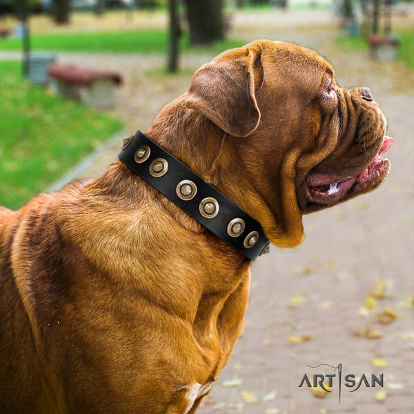 Dogue de Bordeaux comfortable wearing dog collar of significant quality leather