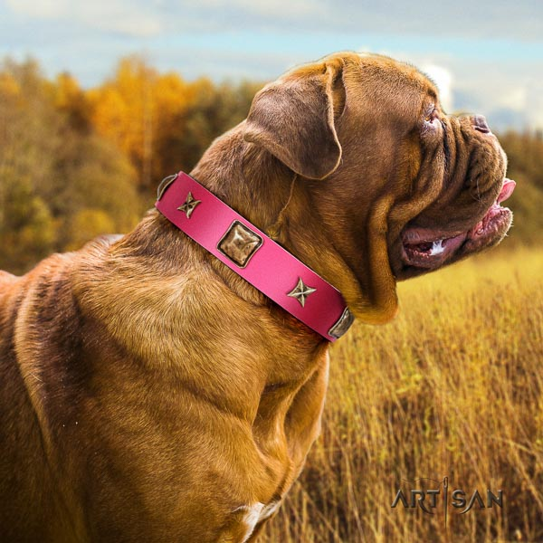 Dogue de Bordeaux comfy wearing dog collar of fashionable genuine leather