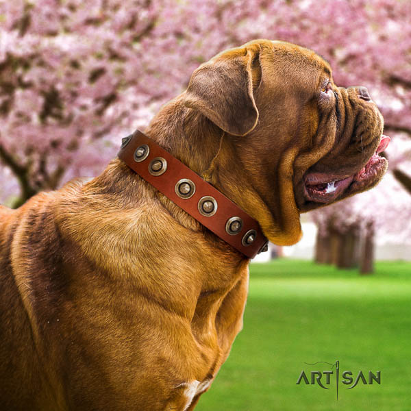 Dogue de Bordeaux comfy wearing dog collar of stylish genuine leather