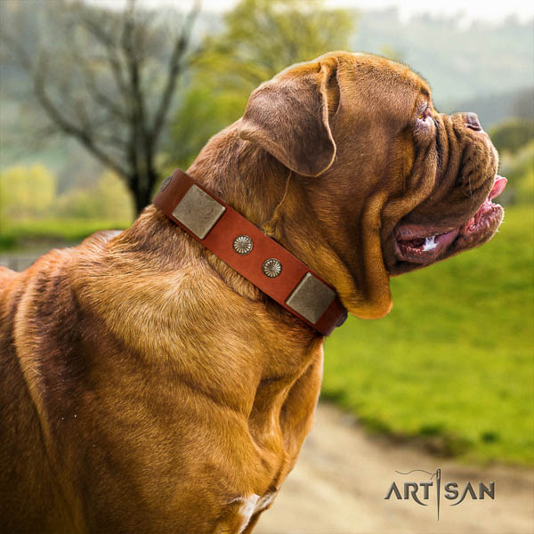 Dogue de Bordeaux comfortable wearing dog collar of incredible quality natural leather