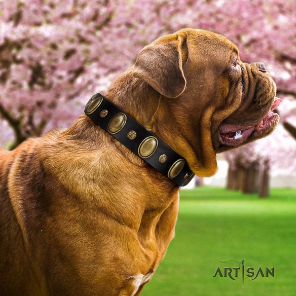 Dogue de Bordeaux comfy wearing dog collar of exceptional quality genuine leather