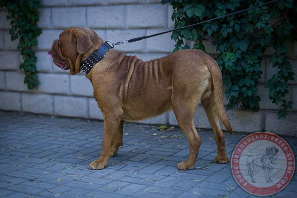 Dogue de Bordeaux leather collar with reliable hardware for quality control
