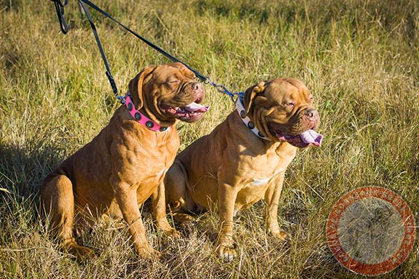Dogue de Bordeaux pink leather collar with strong fittings for quality control