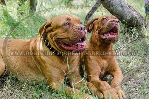 Extra Wide Dogue de Bordeaux Walking Collar with Brass Plated Spikes