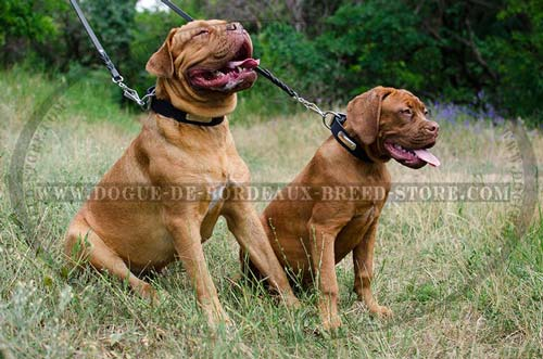 Durable Dogue de Bordeaux Breed Identification Collars with Steel Nickel Plated ID tags