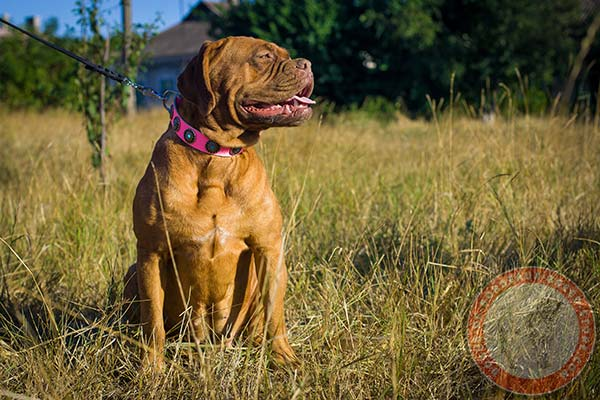 Elaborate pink Dogue de Bordeaux collar