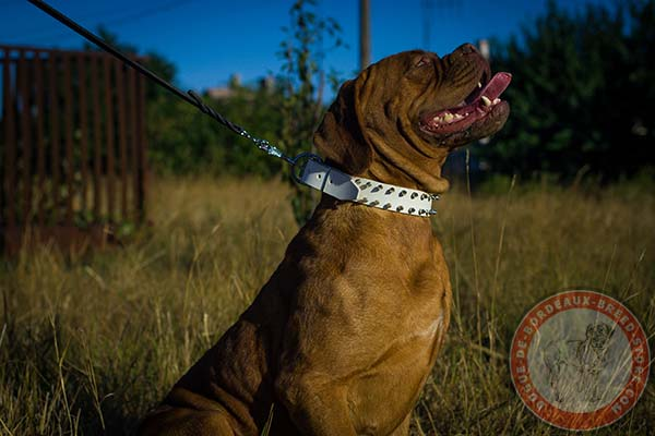 White Dogue de Bordeaux collar with silvery spikes