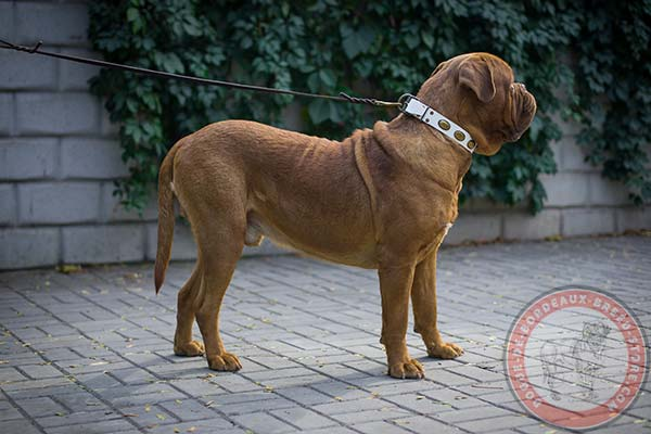White Dogue de Bordeaux collar for fashion outing