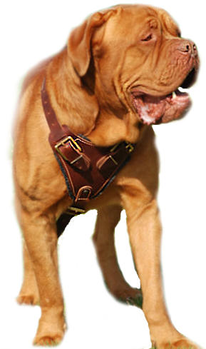 Dogue De bordeaux Leather dog harness, Large dog harness for French mastiff