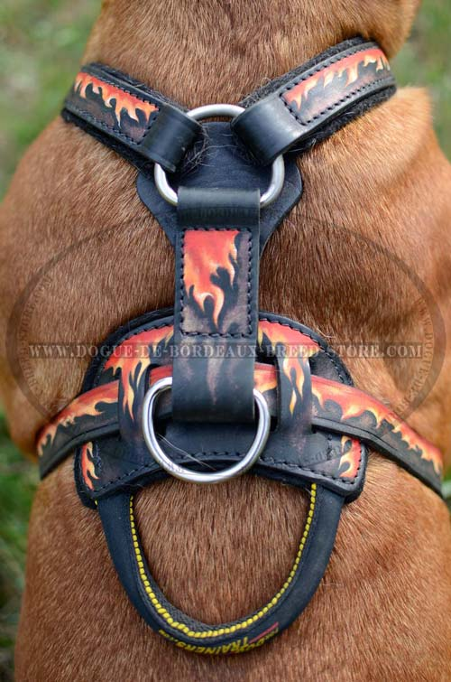 Exclusive training harness for Dogue de Bordeaux breed with wide chest plate