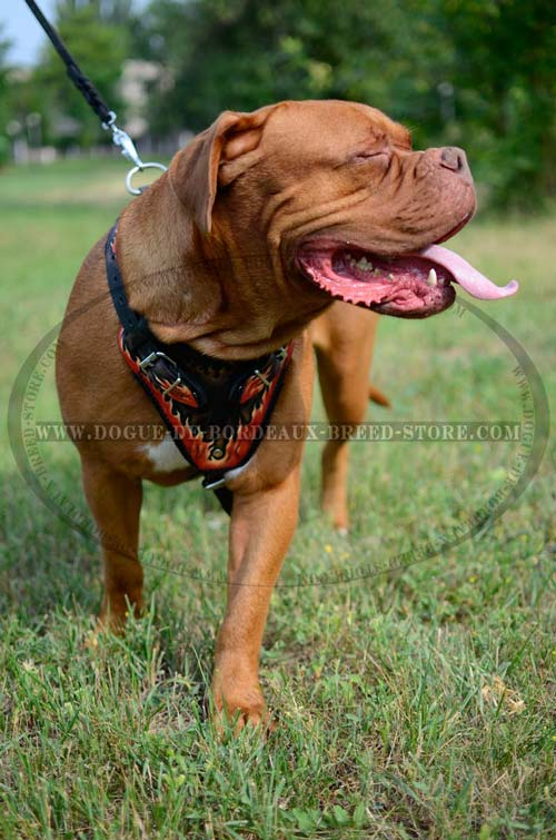 Handcrafted Dogue de Bordeaux breed harness with Exclusive Pattern