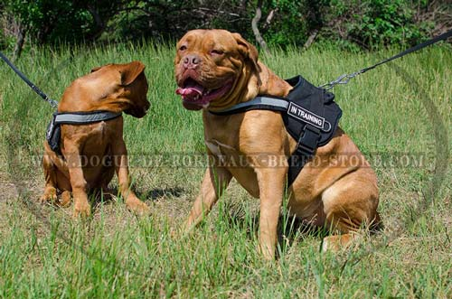 Dogue de Bordeaux Harness with ID Patches for Patrolling and Tracking