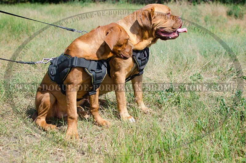 Dogue de Bordeaux Harness Dog Training Chest Plate Nylon big functional all weather nylon harness with chest plate [h12 1034