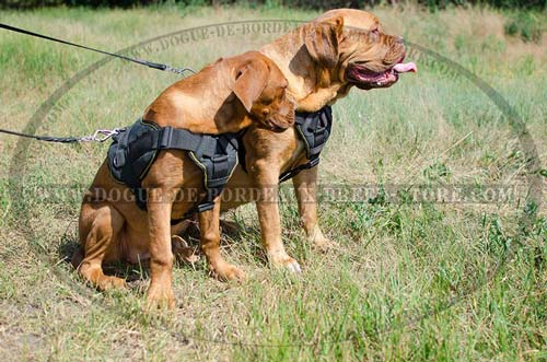 Nylon Dogue de Bordeaux Harness for Training with Wide Chest Plate