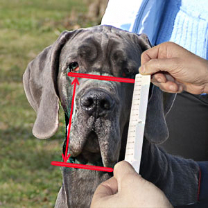 Measure your dog's snout height